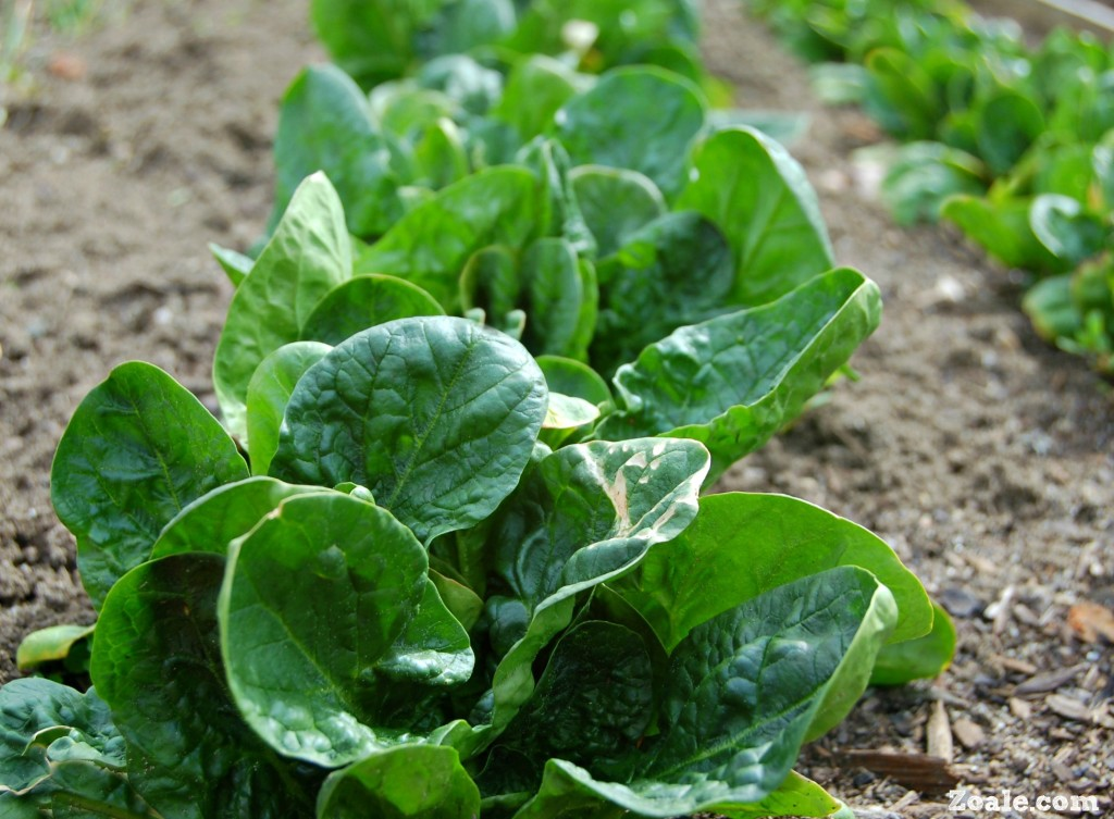 spinach tips for tuesday