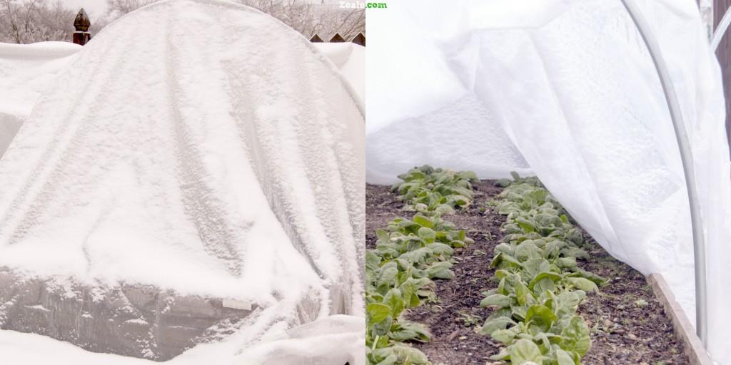 spinach in winter garden